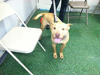 American Staffordshire Terrier/Labrador Retriever Mix Dog for adoption in Wilmington, North Carolina - BRADLEY