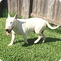 Adopt A Pet :: Nolan - Houston, TX