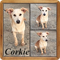 Adopt A Pet :: Corkie in CT - East Hartford, CT