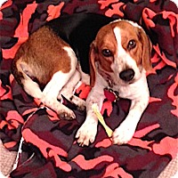 Adopt A Pet :: Cassie - Houston, TX