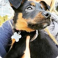 Adopt A Pet :: Kinzie #1158 - Arlington Heights, IL