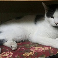 Domestic Shorthair Cat for adoption in Pottsville, Pennsylvania - Investigator