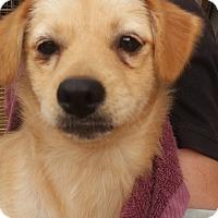 Adopt A Pet :: Wendy - Oakton, VA