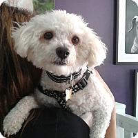 Adopt A Pet :: Dexter - Thousand Oaks, CA