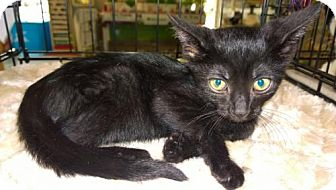 Domestic Shorthair Cat for adoption in Columbus, Ohio - Wyatt