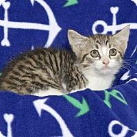 Domestic Shorthair Kitten for adoption in Gloucester, Virginia - MARSHA