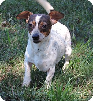 Dachshund/Chihuahua Mix Dog for adoption in Anderson, South Carolina - Sissy girl