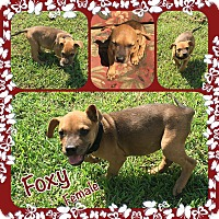 Adopt A Pet :: Foxy Adoption pending - Manchester, CT