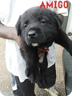 Labrador Retriever Mix Puppy for adoption in Burlington, Vermont - Amigo (has been adopted)