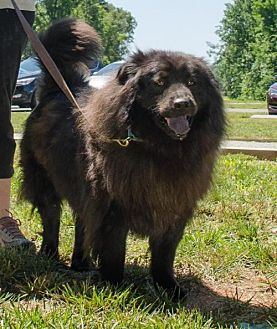 Chow Chow Mix Dog for adoption in Midlothian, Virginia - Bear