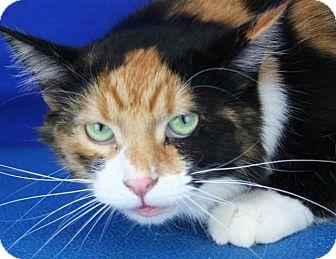 Domestic Mediumhair Cat for adoption in Pagosa Springs, Colorado - Peachy
