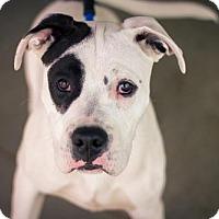 Adopt A Pet :: Petey - CALIFORNIA - Fulton, MO
