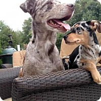 Catahoula Leopard Dog Mix Dog for adoption in Tenafly, New Jersey - Kanga