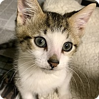 Domestic Shorthair Kitten for adoption in Island Park, New York - Marley