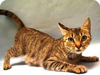 Domestic Shorthair Cat for adoption in New York, New York - Quinn