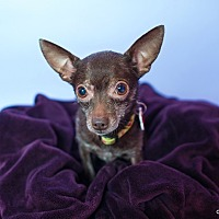 Chihuahua Mix Dog for adoption in Studio City, California - Yogi