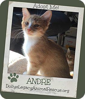 Domestic Shorthair Kitten for adoption in Lincoln, Nebraska - ANDRE
