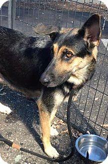 German Shepherd Dog Mix Dog for adoption in Walnut Creek, California - Terra