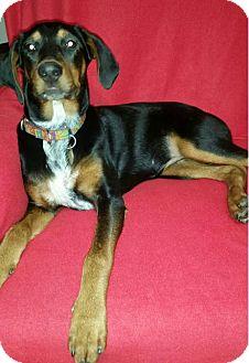 Doberman Pinscher Mix Puppy for adoption in Bristolville, Ohio - Lacey
