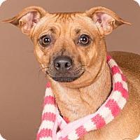Adopt A Pet :: Accari - Northbrook, IL