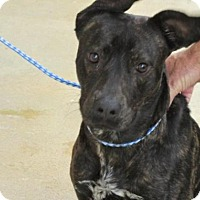Adopt A Pet :: Zander See me at the Christmas - Rocky Mount, NC