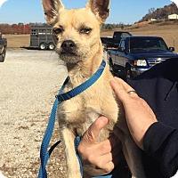Adopt A Pet :: Brumby - reduced fee! - Brattleboro, VT