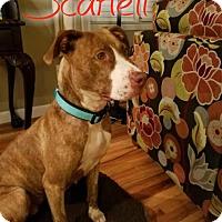 Adopt A Pet :: Scarlett - Eden, NC