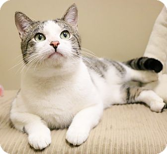 Domestic Shorthair Cat for adoption in Chicago, Illinois - Perry