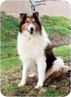 Collie Dog for adoption in San Diego, California - Heath