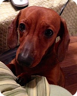 Dachshund Dog for adoption in ST LOUIS, Missouri - Charlotte