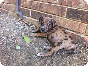 Catahoula Leopard Dog Mix Puppy for adoption in Somers, Connecticut - Sally