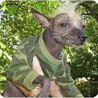 Adopt A Pet :: Lao Shu-NY - Mays Landing, NJ