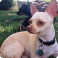 Adopt A Pet :: Snowy - Parker, CO