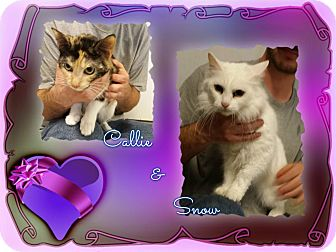 Calico Cat for adoption in Corinth, New York - Callie & Snow