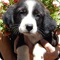 Adopt A Pet :: Domino (6 lb) - SUSSEX, NJ