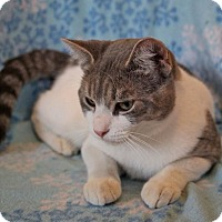 Domestic Shorthair Cat for adoption in Laingsburg, Michigan - MAX