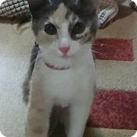 Adopt A Pet :: Harper (Calico kitten) - Witter, AR