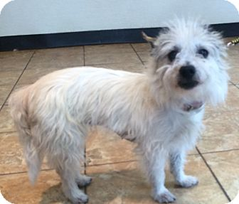 Westie, West Highland White Terrier/Cairn Terrier Mix Dog for adoption in Oak Ridge, New Jersey - Anna-PARTIALLY BLIND