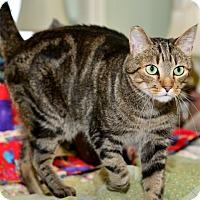 Domestic Shorthair Cat for adoption in Davis, California - Frederich