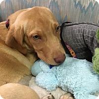 Adopt A Pet :: Curry - Richmond, VA