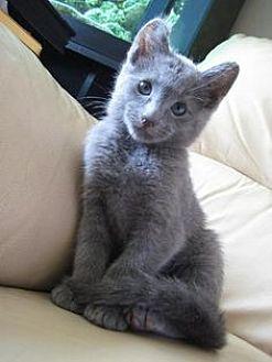 Russian Blue Kitten for adoption in Sunny Isles Beach, Florida - Jake