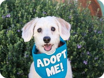 Standard Schnauzer/Beagle Mix Dog for adoption in Pacific Grove, California - Samantha Schneagle