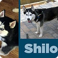 Adopt A Pet :: Shiloh - Boyertown, PA
