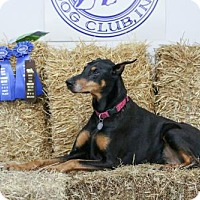 Doberman Pinscher Dog for adoption in Madison, Wisconsin - Layla