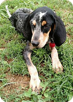 Bluetick Coonhound Mix Puppy for adoption in Macomb, Illinois - Bluebelle