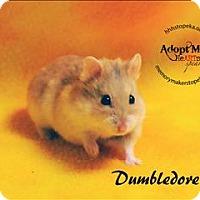 Adopt A Pet :: Dumbledore - Topeka, KS
