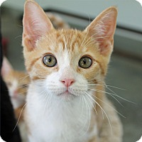 Adopt A Pet :: Conway Kitty - Mountain Center, CA