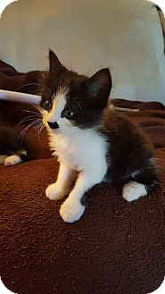 Domestic Mediumhair Kitten for adoption in Tampa, Florida - Finn