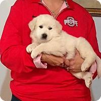 Adopt A Pet :: Ranger - New Philadelphia, OH