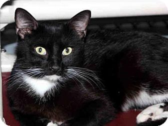 Domestic Mediumhair Cat for adoption in Tavares, Florida - RILEY 2.0